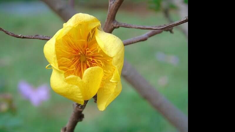 Algodãozinho do Cerrado, planta usada na pesquisa