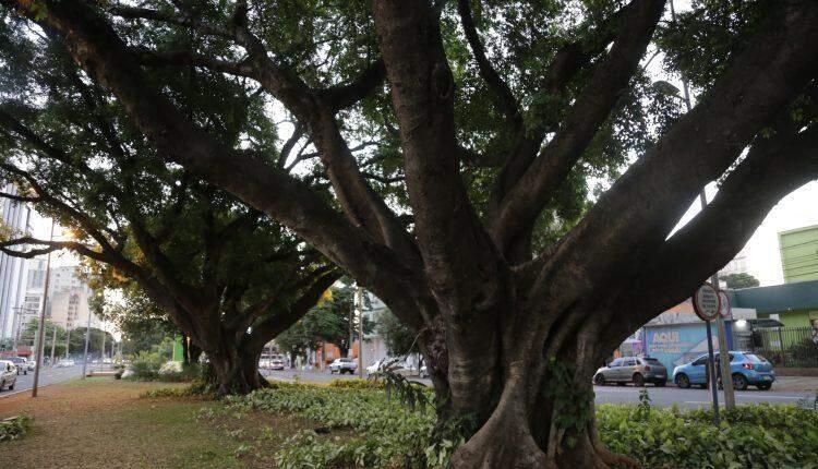 #CG120: Espetáculo à parte, árvores são orgulho da Capital mais arborizada do país