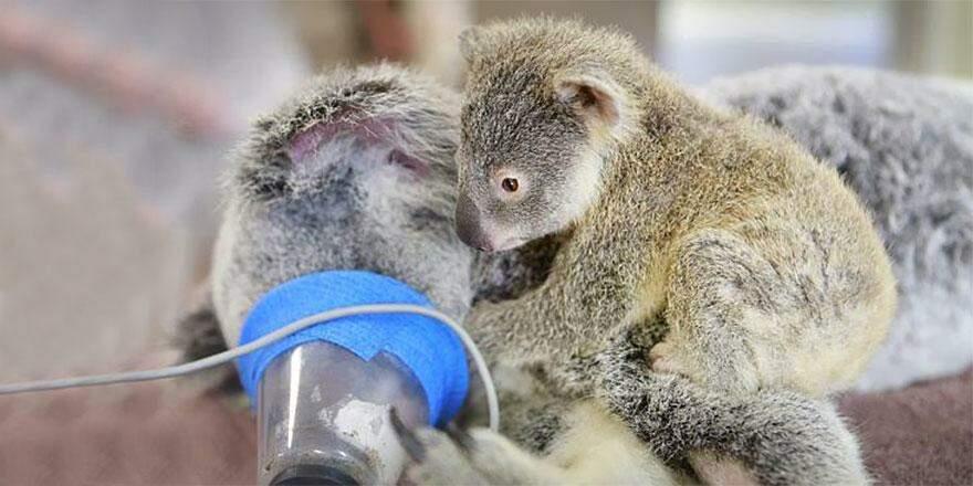 Filhote de coala abraça mãe inconsciente durante cirurgia emergencial