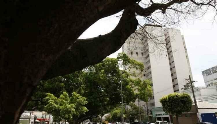 Figueira centenária que morreu na Afonso Pena será substituída por 'clone'