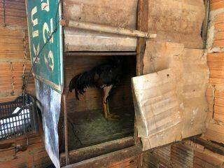 Pedreiro é multado em R$ 7 mil por promover rinha de galos e aves são resgatadas no Talismã