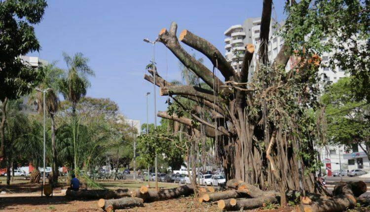 'Cirurgia' e clones são saídas para superar morte de árvores centenárias em Campo Grande