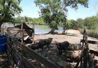 Gerente de fazenda é multado em R$ 10 mil por suinocultura em área protegida de rio