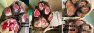 Onça resgatada no Pantanal apresenta melhora e deve passar por cirurgia para retirar bala alojada
