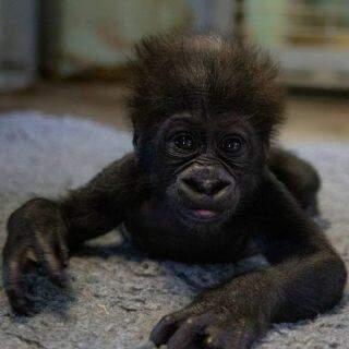 Zoológico abre votação para escolha de nome do filhote de gorila.