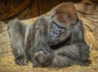 Dois gorilas de zoológico dos EUA testam positivo para covid-19.