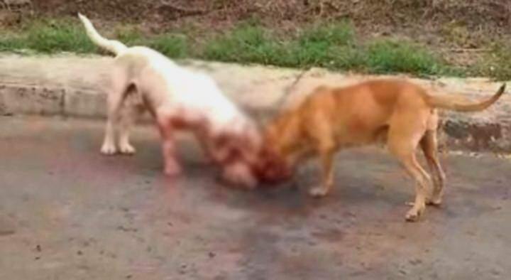 Cachorros pitbull atacam e arrancam cabeça de poodle que estava dentro de casa